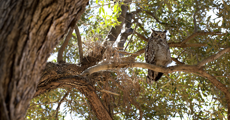 SPOTTED EAGLE OWL - SHARP 150 - CROP - 935 - IMG_9436
